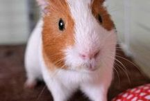 Rabbits and Guinea Pigs / Rabbits, otherwise known as bunnies, and Guinea Pigs have long been popular pets. Enjoy these photos and blog posts about these lovely creatures.