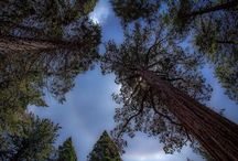 Redwoods / Sequoias / Photos taken during my 2015 maiden Redwood Climbing expedition.