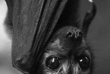 BATS / Bats, bats, and more bats. If you love bats too and want to join my board, comment on one of my pins.