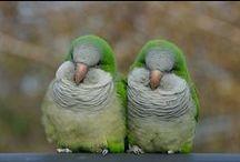 Birds - Quaker Parrots
