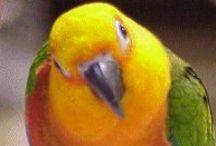 Birds - Conures