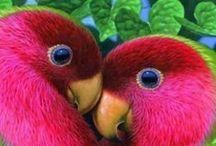 Birds - Lovebirds