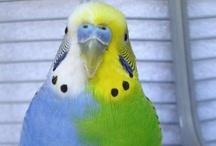 Birds - Budgies (Parakeets)