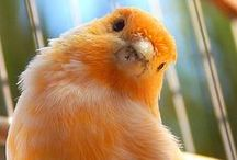 Birds - Canaries