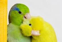 Birds - Parotletts