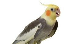 Birds - Cockatiels