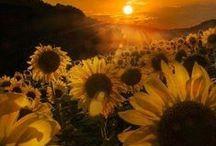 Sunflower / Sunflowers