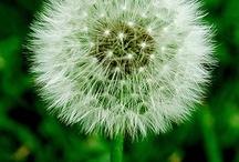 Dandelions / by Debbie Ross Kosterman
