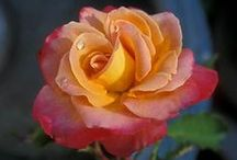 Roses / by Leslie Young