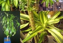 Top Houseplants for Improving Indoor Air Quality / by Denise Palucki