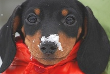 I Love Doxies  / by Kathy Urich