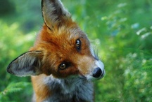 Foxes / by Pat Cupp
