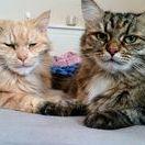 Sam i Nikita / Sam i Nikita to moje koty Syberyjskie.