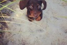 Doxie momma / My unconditional love for all things dachshund... / by Michelle Perkins