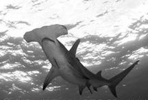 Sharks / Shark pictures and facts.