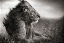 Lions and Other Cats / Lions in art, words, and literature.