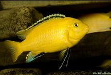 Aquarium / Cichlids we have in our tank