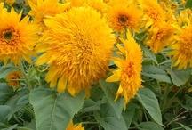 2012 Flower Introductions / National Garden Bureau New Flower Introductions for 2012 / by National Garden Bureau