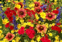 Wildflowers / Wildflowers can be used anywhere. In the home landscape they are ideal for creating colorful beds and borders, as well as offering a lower-maintenance alternative for large areas or replacing turf grass.