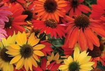 Echinacea / National Garden Bureau celebrates 2014 as the year of the Echinacea - A great choice for a pollinator friendly garden that also adds color and texture for a wildflower or prairie-style garden and is equally attractive when used in garden borders or as background plantings.  / by National Garden Bureau