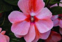 2014 Flower Introductions / National Garden Bureau New Flower Introductions for 2014.  / by National Garden Bureau