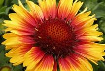 2015 Year of the Gaillardia / NGB Celebrates 2015 as the Year of the Gaillardia. Gaillardias brighten sunny gardens with brightly colored long lasting blooms.  Plants are tough, durable, drought tolerant and low maintenance. / by National Garden Bureau