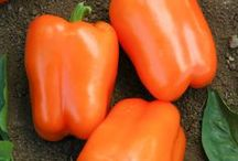 2015 Year of the Sweet Pepper / NGB Celebrates 2015 as the Year of the Sweet Pepper. Sweet Peppers include Bell, Pimiento, Paprika, Sweet Cherry, and the long narrow tapered Sweet Banana, Sweet Hungarian and Cubanelle peppers. / by National Garden Bureau