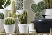 Cactus & Succulent / Photos of beautiful cacti and succulents, mainly as a home decor
