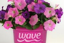 Pantone Color of the Year / Rose Quartz and Serenity will be popping up on runways and in boutiques across the country in 2016. But you can also get this year's hottest color in your garden! Wave, which provides gardeners with easy-spreading color, has an assortment of petunias and pansies inspired by the Pantone Colors of the Year.