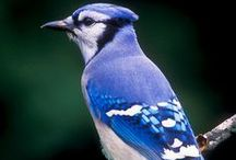 Animals-Birds-Blue Jays / Blue Jays. / by Ellary Branden