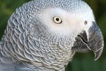 Animals-Birds-African Greys / African grey parrots. Mine is named Angeles. / by Ellary Branden