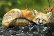 Foxes and Corgis / by Samantha Metzinger