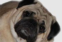Turbo, the pug - Cats & Dogs - Kittens & Puppies / by Little Cottage Shoppe