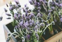 Lavender  / by Leigh Zeidner Pictures