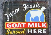Dairy Goats  / All things milking