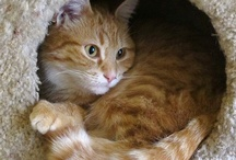 Cat's Meow - Tabbys/Tigers / by Shari Fries