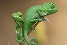 Chameleon my favorite Lizard / by Debbie Stevens Heazle