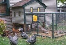 Backyard Chickens / by Debbie Stevens Heazle