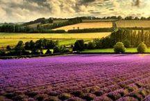 lavender ! / by Jennifer Talacimon