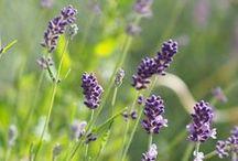 Flora: Lavender