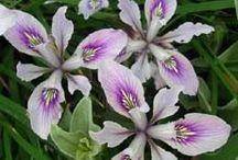 Garden: Iris