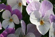 Flora: Pansies & Violets