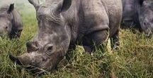 Rhino Respect / Rhinos
