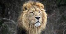 Lovable Lions / Lions