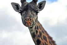 Giraffes are Great / Giraffes