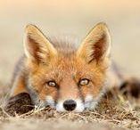 Fun Foxes / Foxes