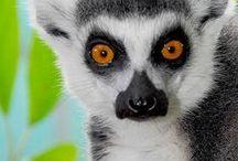 Likable Lemurs / Lemurs
