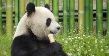 Precious Pandas / Panda love! Giant Pandas and Red Pandas. Photos, art and gifts for panda fans.