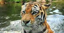 Terrific Tigers / Tigers