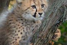Charming Cheetahs / Cheetahs